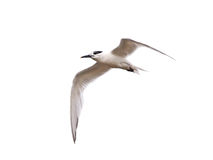 Sandwich Tern (Sterna sandvicensis) Royalty Free Stock Image