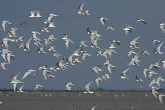 Sandwich tern, Sterna sandvicensis, Royalty Free Stock Images