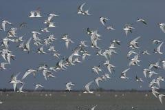 Sandwich tern, Sterna sandvicensis, Royalty Free Stock Images