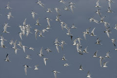 Sandwich tern, Sterna sandvicensis, Stock Photo