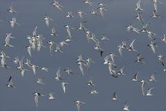 Sandwich tern, Sterna sandvicensis,. Flock in flight, Camargue, France, Spring Stock Photo