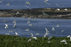 Sandwich tern, Sterna sandvicensis Royalty Free Stock Photos