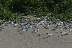 Sandwich tern, Sterna sandvicensis Stock Image