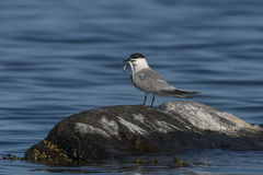 Sandwich Tern (Sterna sandvicensis) Royalty Free Stock Photo