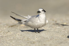 Sandwich Tern, Thalasseus sandvicensis Royalty Free Stock Photography