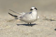 Sandwich Tern, Thalasseus sandvicensis. On tan sandy beach looking toward viewer Royalty Free Stock Photography