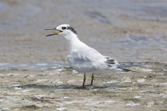 Sandwich Tern, Thalasseus sandvicensis Royalty Free Stock Images