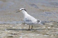 Sandwich Tern, Thalasseus sandvicensis. On tan sandy beach and open beak Royalty Free Stock Images