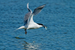 Sandwich Tern (Thalasseus sandvicensis ). In the sky Royalty Free Stock Photos