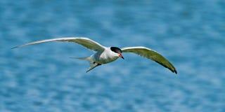 Sandwich Tern (Thalasseus sandvicensis ). In the sky Stock Photos