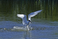 Sandwich tern & x28;Thalasseus sandvicensis& x29;. Sandwich tern diving in water after fish Royalty Free Stock Photos