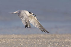 Sandwich Tern (Thalasseus sandvicensis) in flight Royalty Free Stock Photography