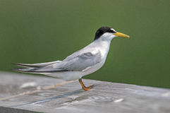 Sandwich Tern (Thalasseus sandvicensis) Royalty Free Stock Image