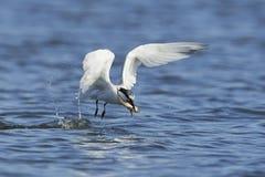 Sandwich tern Thalasseus sandvicensis. Sandwich tern in its natural habitat in Denmark Royalty Free Stock Photography