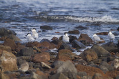Sandwich Tern (Thalasseus sandvicensis ) Royalty Free Stock Photography