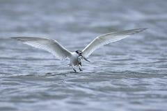 Sandwich tern Thalasseus sandvicensis. Sandwich tern in its natural habitat in Denmark Royalty Free Stock Image