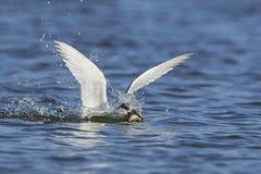 Sandwich tern Thalasseus sandvicensis. Sandwich tern in its natural habitat in Denmark Royalty Free Stock Images
