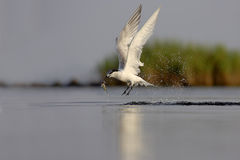 Sandwich Tern (Thalasseus sandvicensis ). Royalty Free Stock Images
