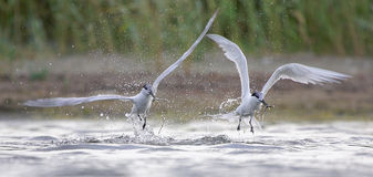 Sandwich Tern (Thalasseus sandvicensis ). Stock Photos