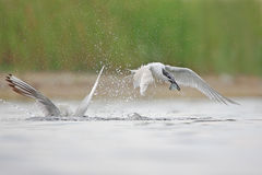 Sandwich Tern (Thalasseus sandvicensis ). Stock Images