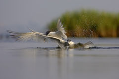 Sandwich Tern (Thalasseus sandvicensis ). Royalty Free Stock Image