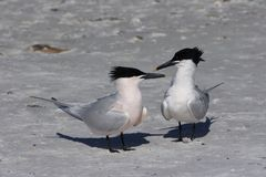 Sandwich Terns in Fort De Soto State Park, Florida. royalty free stock photo