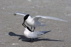 Sandwich Terns in Fort De Soto State Park, Florida. royalty free stock images