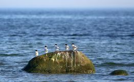 Sandwich terns Royalty Free Stock Photo
