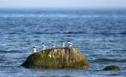Sandwich terns Royalty Free Stock Photo