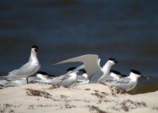 Sandwich Terns socializing Royalty Free Stock Photo