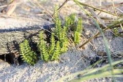 Sandwort Στοκ Φωτογραφίες