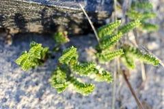 Sandwort Στοκ Εικόνες