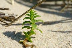 Sandwort del mare, peploides di Honckenya, con una cavalletta Fotografia Stock