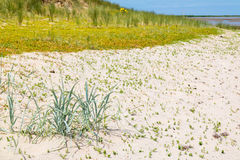 Sandwort and marram grass growing in sand, Netherlands Stock Image