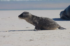 Sandy baby sea lion. A baby sea lion covered in sand Royalty Free Stock Photo