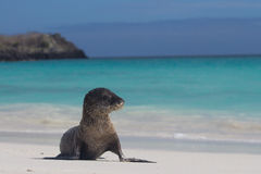 Sandy baby sea lion beach. A baby sea lion covered in sand posing on the beach Royalty Free Stock Images