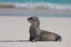 Sandy baby sea lion pose. A baby sea lion covered in sand posing on the beach Stock Photography