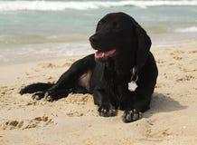 Sandy Bassador Puppy. A sandy black Bassador (Basset Hound/Labrador Retriever cross) puppy lying on the beach Stock Image
