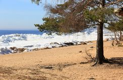 Sandy beach five. Pines and bushes on sandy beach with snow stock photo