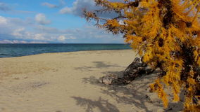 The sandy beach of Lake Baikal in the autumn. Yellow larch. Beautiful landscape stock footage