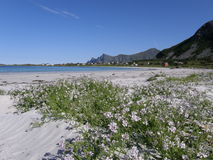 Sandy beach on Lofoten islands, Arctic Ocean. Sandy beach with flowers on a coast of the Arctic Ocean in Norway (Lofoten islands); cottages in green meadows and Royalty Free Stock Images