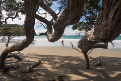 Sandy beach with old Pohutukawa tree Royalty Free Stock Images