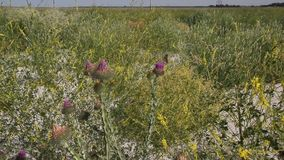 Thistle and other herbs. The sandy beach is overgrown with clover, Thistle and other herbs stock video