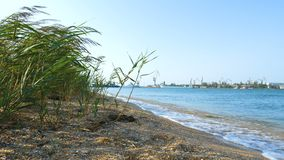 Sandy beach overgrown with reeds. stock video