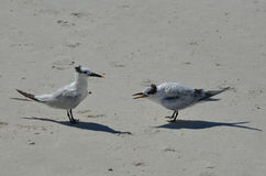Sandy Beach with a Pair of Terns Squawking Royalty Free Stock Photography
