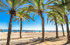 Sandy beach with palm trees in Alcudia Mallorca Spain Stock Photography