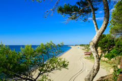 Sandy beach, pine tree,  Miami Platja, Catalunya, Spain. Mediterranean sandy beach, pine tree, Miami Platja, Catalunya, Spain Stock Photos