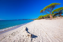 Sandy beach with pine trees and azure clear water, Corsica, Fran Royalty Free Stock Image
