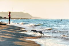 Sandy beach shoreline at Black Sea coast with seagulls drinking water at sunset by Anapa resort. Sandy beach shoreline at Black Sea coast with seagulls drinking stock photo