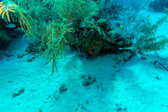 Sandy bottom of Caribbean sea with corals and fishes Stock Images